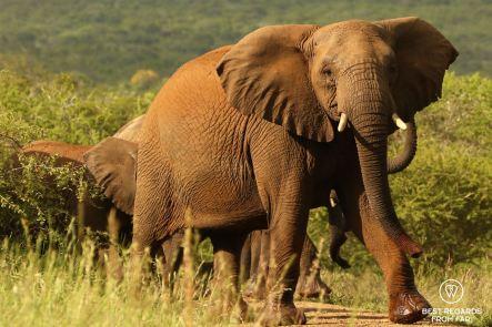 Big male elephant, Mkhuze Game Reserve, South Africa