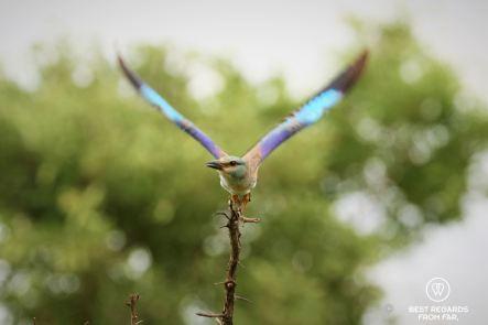 European Roller, Kruger NP, South Africa