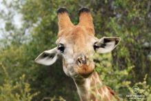 Portrait of a giraffe, Kruger NP, South Africa
