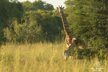 Giraffe with her newborn, &Beyond Phinda Private Game Reserve, South Africa