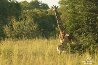 Mother and baby giraffe in the grass,