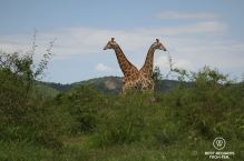 Two giraffes in profile, green bushes, hills and blue skies, South Africa.