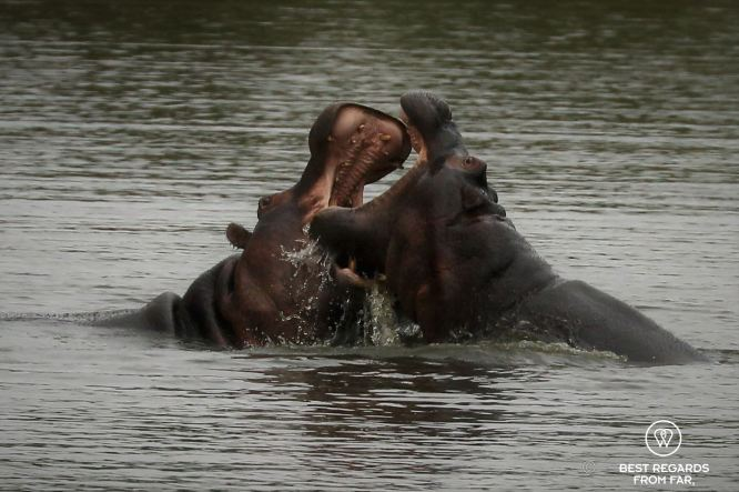 Two hippos with their mouths open fighting in the water, Kruger NP, South Africa.