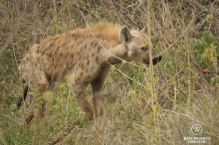 Spotted hyena, South Africa.