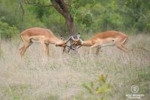 Impala fight, Kruger NP, South Africa