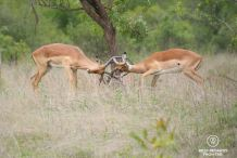 Two male impalas fighting with their horns in the grass, Kruger NP, South Africa.