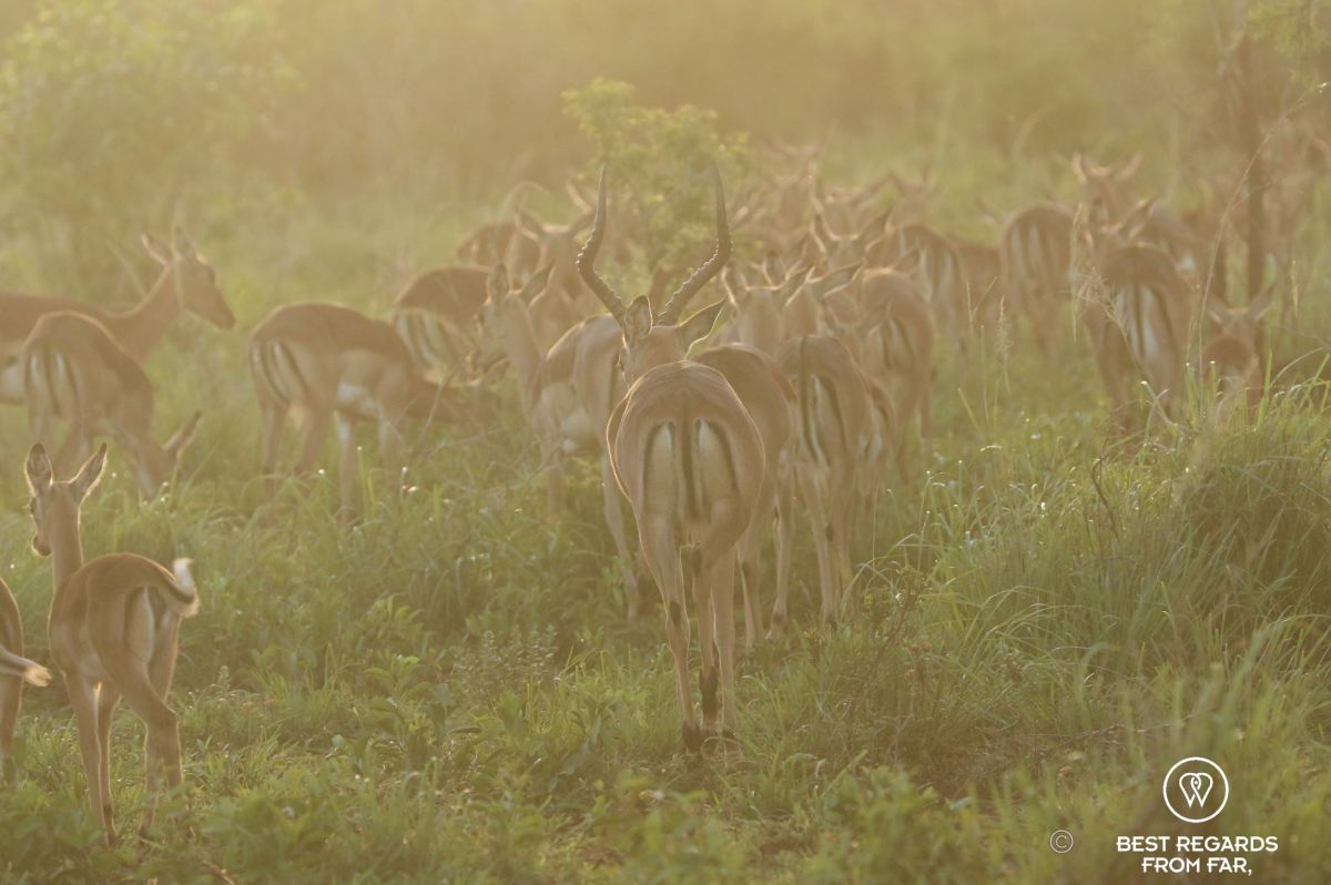 Impalas at sunset at &Beyond Phinda Private Game Reserve, South Africa.