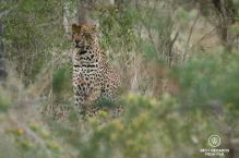 Leopard, Kruger NP, South Africa