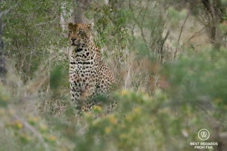 Leopard seated in the bush in the Kruger National Park, South Africa.