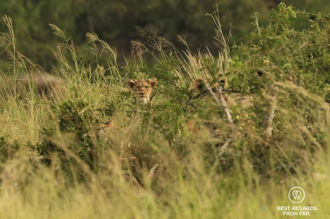 Lion cub sticking its head out above the grass in Phinda Private Game Reserve, South Africa