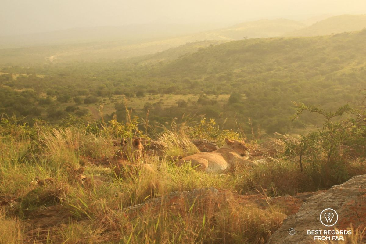 Lion pride resting on rocks at sunset Phinda Private Game Reserve, South Africa