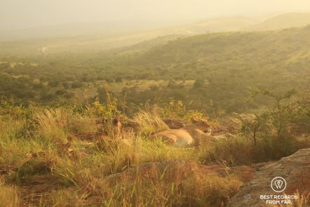 Lionesses with cubs on a rock at sunset, &Beyond Phinda Private Game Reserve, South Africa