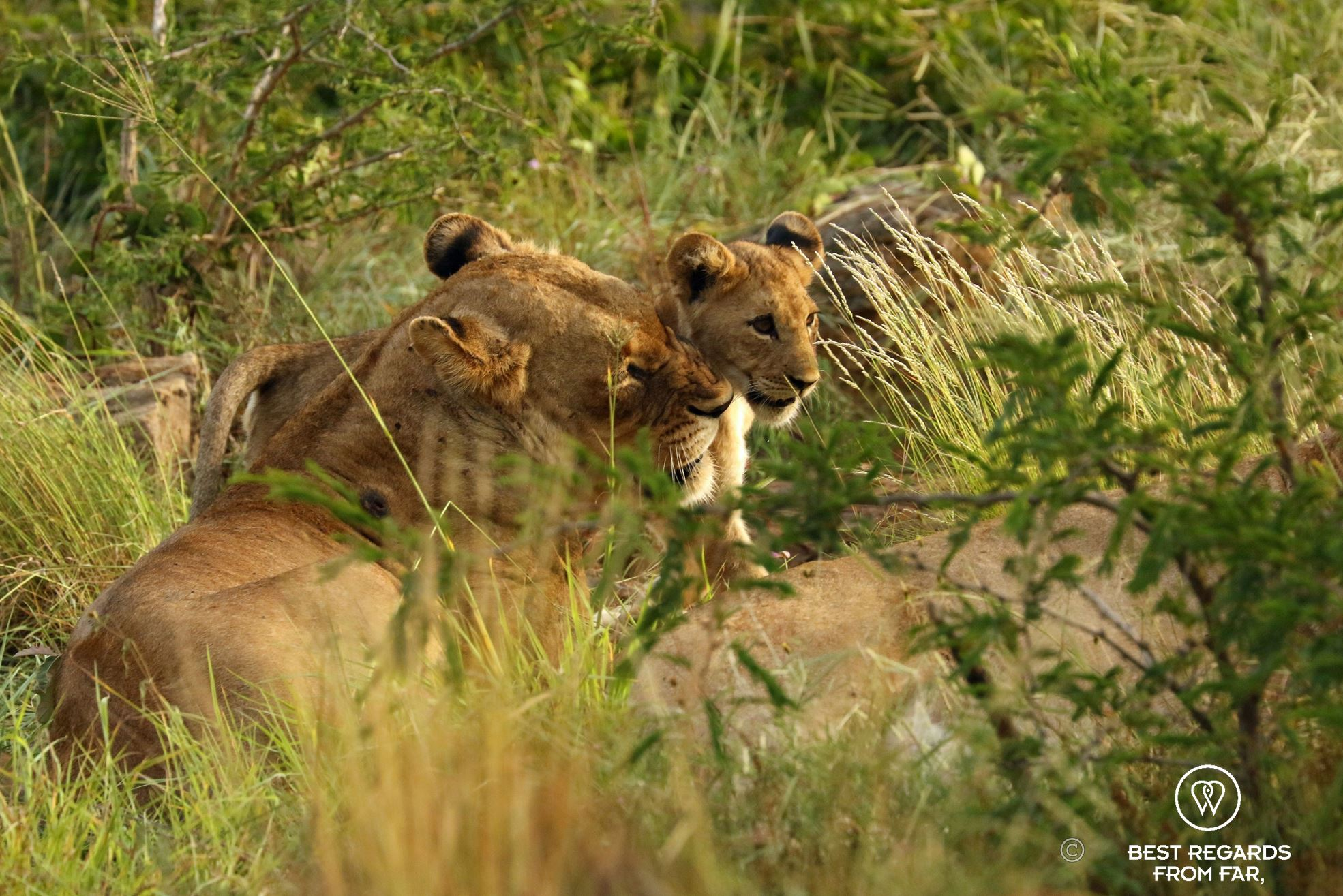 A lioness and her cub, &Beyond Phinda Private Game Reserve, South Africa.