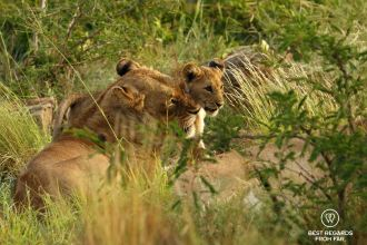 A lioness and her cub, &Beyond Phinda Private Game Reserve, South Africa