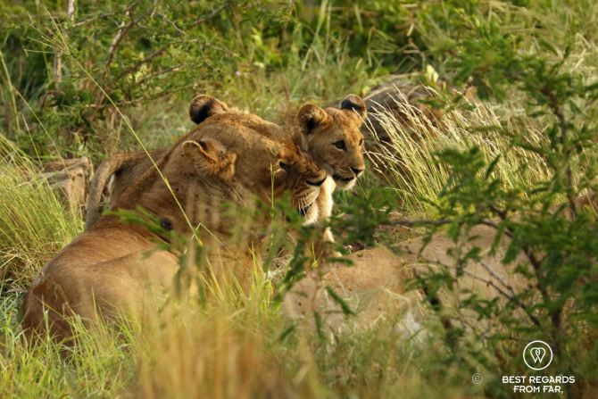 Lions 2 - &Beyond Phinda Private Game Reserve