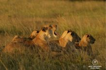 Pride of wild lions, &Beyond Phinda Private Game Reserve, South Africa.