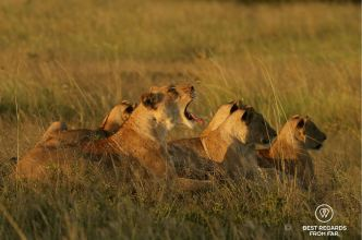 Pride of wild lions, andBeyond Phinda Private Game Reserve, South Africa
