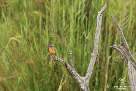 Malachite Kingfisher on dead branch with green background, Kruger NP, South Africa