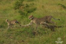 Mother cheetah running with two cubs in Phinda Private Game Reserve, South Africa