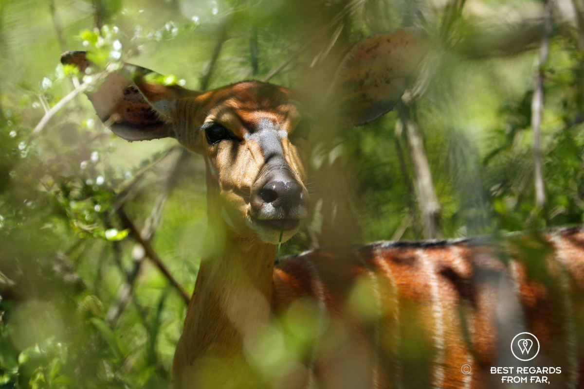 Nyala in the bush, &Beyond Phinda Private Game Reserve, South Africa.