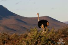 Black male ostrich overlooking the hills of the Karoo NP, South Africa.