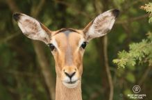Close-up of a female impala with green background, South Africa.