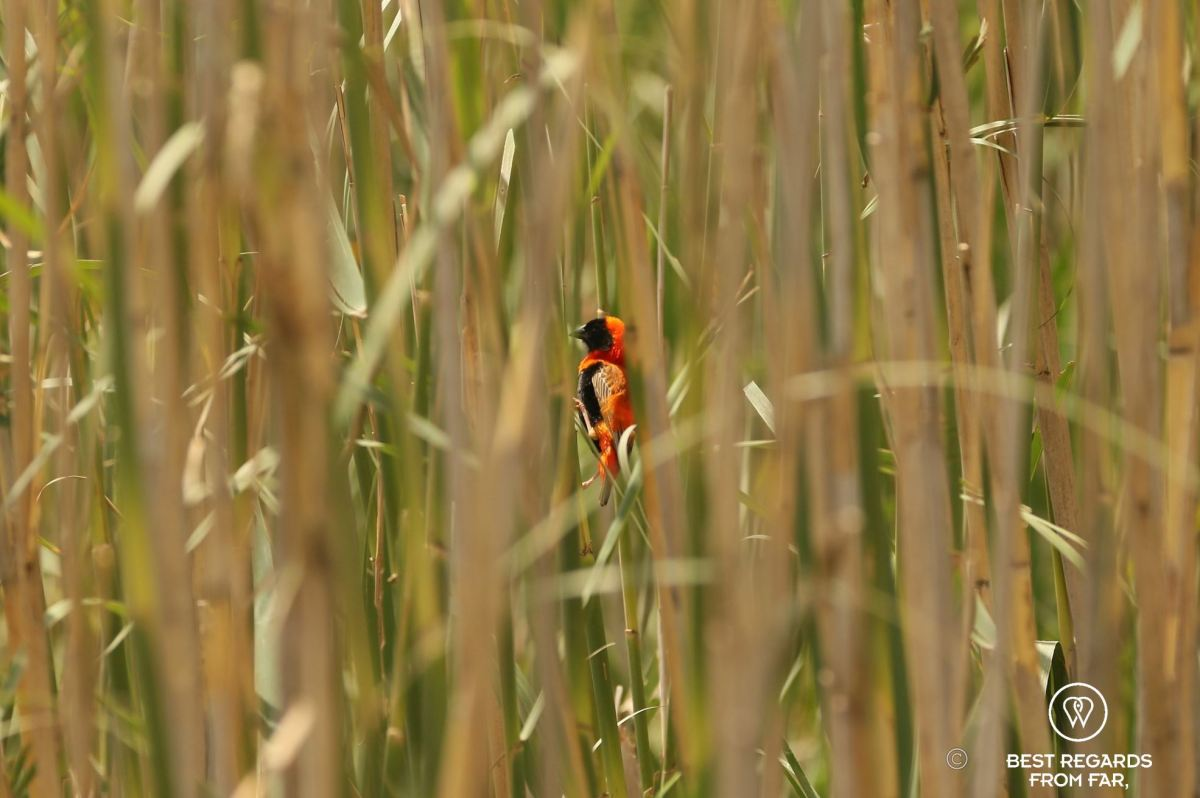 Red Bishop, orange bird with black head in the reeds, Northern Drakensberg, South Africa