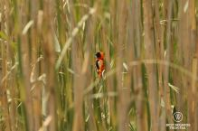 Red Bishop, Northern Drakensberg, South Africa