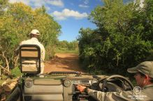 Track in front of the car and female ranger driving a game drive vehicle through the green bush on a sunny day.