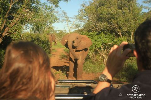 People taking a photo of a teenage elephant showing off in front of a game drive vehicle in the bush.