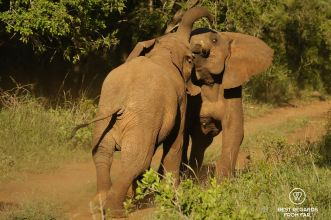 Two young elephants fighting in the bush, Mkhuze Game Reseve, South Africa.