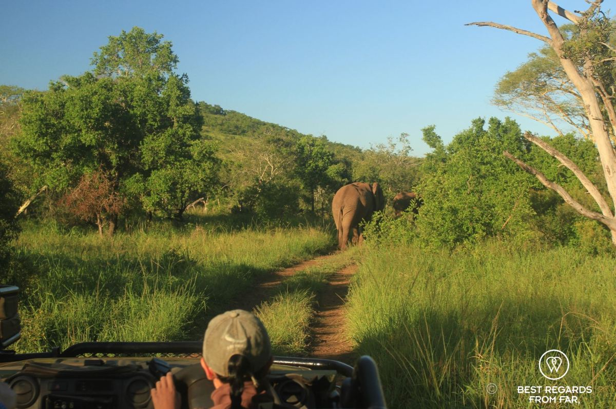 A game drive vehicle slowed down by elephant traffic on the dirt track at &Beyond Phinda Private Game Reserve, South Africa.