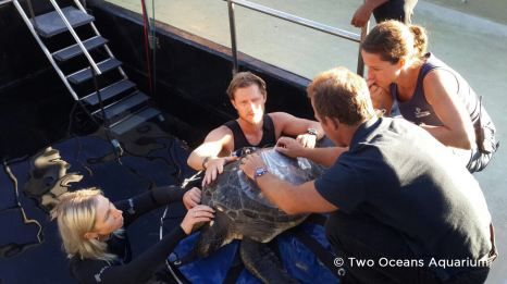 Sandy being treated at the Two Oceans Aquarium turtle rehabilitation centre, Cape Town, South Africa
