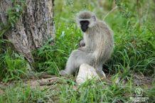 Mother and baby vervet monkeys, Kruger NP, South Africa