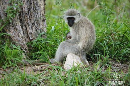 Mother vervet monkey with grey fur and black face holding her baby at the foot of a tree, Kruger NP, South Africa.