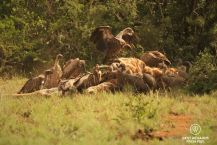 Vultures feasting on a giraffe, Mkhuze Game Reserve, South Africa