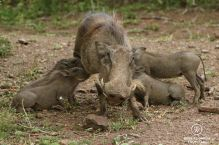 Warthog with tusks standing with 4 piglets suckling, Phinda Private Game Reserve, South Africa.