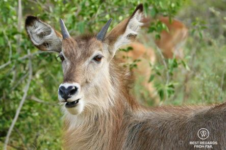 Waterbuck close-up in front of green bushes in Kruger NP, South Africa.