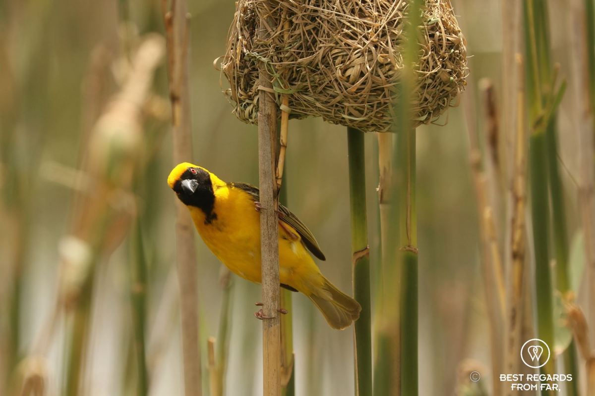 Southern masked weaver, yellow bird, underneath his woven nest in the reeds.