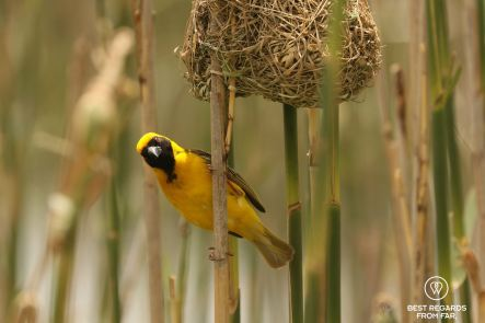 Weaver, by its nest.
