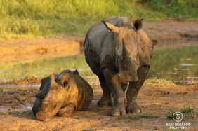 Mother rhino with her calf by a waterhole at sunrise, South Africa.