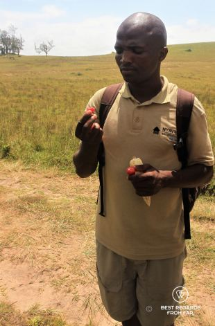 Our guide Siyabonga tasting the yumyum fruits, Wild Coast hike, South Africa