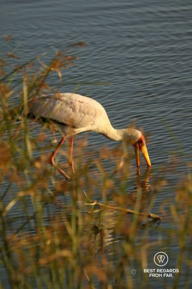 Yellow billed stork feeding in a lake with reeds in front.