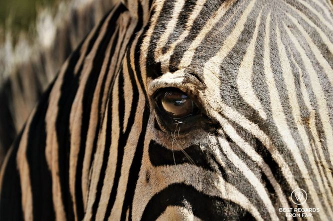 Close-up of a zebra in the wild, Hluhluwe iMfoloze, South Africa.
