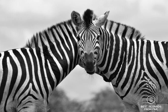 Two zebras with only one head visible looking into the camera, black and white.