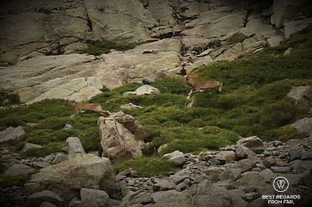 Mouflon running on the mountain slope, GR 20, Corsica, France