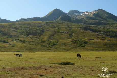 Horses roaming freely Stage on 7 of the GR 20, Corsica, France