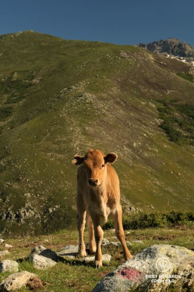 Calf on our way to Vizzavona on Stage 8 of the GR 20, Corsica, France