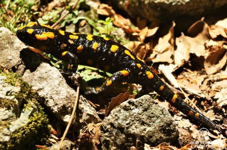 The fire salamander, Corsica, France