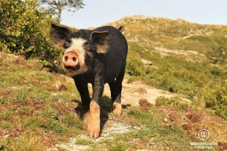 The famous Corsican wild pigs, GR 20, Corsica, France